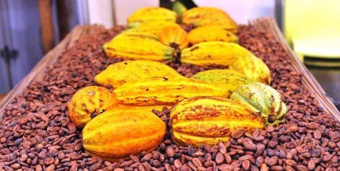 Image Cacao ivoirien: le prix bord champ pour la petite traite maintenu à 825 Fcfa/Kg